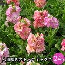 ストック 八重咲き矮性種 花苗 24ポットミックス[冬一年草