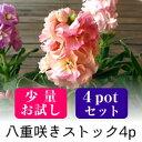 ストック 八重咲き 矮性品種 花苗【少量お試し】 4ポットミ
