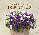 サントリー すぐ楽サフィニア(ペチュニア 2色)花苗3.5号...