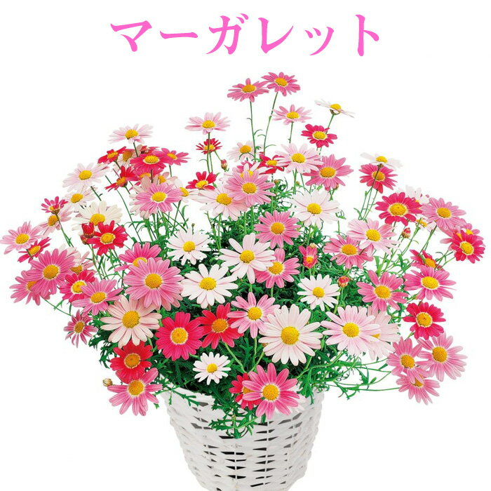 【処分特価】マーガレット PWブランド 花苗 3号[春苗]4月上旬分