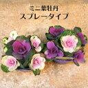 寄せ植え ミニ 葉牡丹 スプレータイプ(5本立) 専門店用苗 3.5号サイズ
