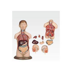 ミニトルソ】人体解剖模型【9分解】高さ35cmJ-113-2【代引不可】