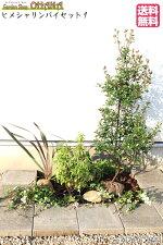 【ヒメシャリンバイセット1】ヒメシャリンバイ(樹高約1.2m)アセビ(根巻)アガパンサス(15cmポット)ニューサイラン銅葉(15cmポット)ハツユキカズラ(9cmポット)ヒメイワダレソウ(9cmポット)庭木・植栽セット