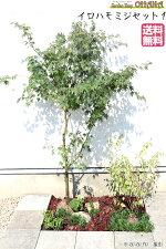 【イロハモミジセット1】イロハモミジ(樹高約1.5m)ヒュウガミズキ(根巻)ツワブキ(10.5cmポット)コグマザサ(10.5cmポット)タマリュウ(9cmポット)庭木・植栽セット