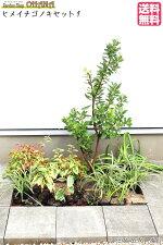 【ヒメイチゴノキセット1】ヒメイチゴノキ(樹高約1m)グミ・ギルトエッジ(15cmポット)アガパンサス(15cmポット)オタフクナンテン(12cmポット)ノカンゾウ(10.5cmポット)フイリヤブラン(10.5cmポット)アジュガ(9cmポット)庭木・植栽セット