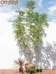 【シマトネリコセット2】 シマトネリコ/コルディリネ/ローズマリー/ビンカマジョール 庭木・植栽セット