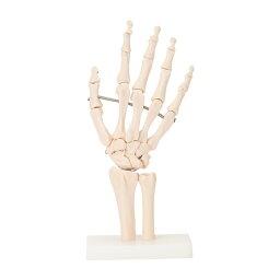 人体模型 骨格模型 7ウェルネ 手関節 模型 実物大 [ 間接模型 骨格標本 骨模型 骸骨模型 人骨模型 骨格 人体 モデル ヒューマンスカル 骸骨 ガイコツ 可動 右手 教材 実験 接骨院 整骨院 ][ E-5-5 ]