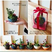 盆栽/苔玉サイズ/和風アレンジ/誕生日プレゼント彼女/誕生日プレゼント恋人