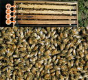 ミツバチ飼育種蜂4枚群2021年5月上旬出荷予定