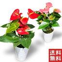 アンスリウム アンスリューム 5号 5寸 5号鉢 選べる種類 鉢 生花 鉢植え 送料無料 カーネーション 贈り物 2021年 送料無料