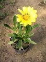 育てやすく晴れた日には黄色い花を咲かせます。宿根ガザニア(黄花) 1P
