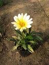 宿根ガザニア(白花)25P