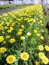 【1P=160円】育てやすく晴れた日には黄色い花を咲かせます。宿根ガザニア(黄花) 25P