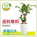 幸福の木(ドラセナ)6号陶器鉢(約65cm)/観葉植物/新築祝い/開店...