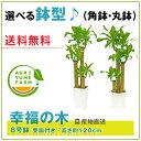 幸福の木(ドラセナ)8号プラ鉢(約120cm)観葉植物/新築祝い/開店...