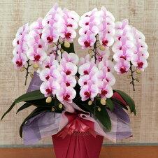 ピンク胡蝶蘭さくらひめ3本立ち