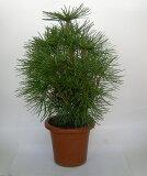 【同梱不可】高野槇(こうやまき) 鉢植え 苗木 大 国内産