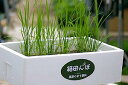 「はなまるマーケット出演」箱田んぼ。簡単お米生育キット♪ベランダで稲を育てよう。「箱田ん...