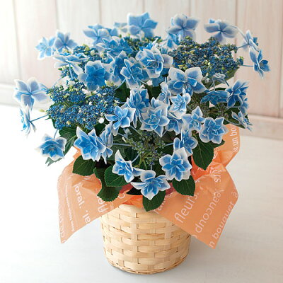 あじさい(紫陽花) コンペイトウブルー 花鉢 5号 母の日カード付き フラワーギフト 送料無料…