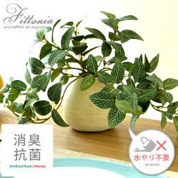 光触媒植物 フィットニア