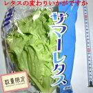 1袋90円サマーレタス(水耕栽培)<br>1箱10入れ<br>数量限定