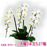 白色の大輪胡蝶蘭3本立ち