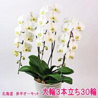 白大輪胡蝶蘭3本立ち