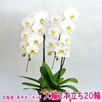 白色の大輪胡蝶蘭2本立ち