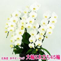 白色の大輪胡蝶蘭5本立ち
