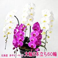 白色と赤色の大輪胡蝶蘭ハーモニー5本立ち
