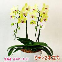緑がかった黄色のミディ胡蝶蘭2本立ち