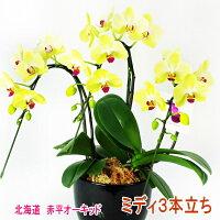 緑がかった黄色のミディ胡蝶蘭3本立ち