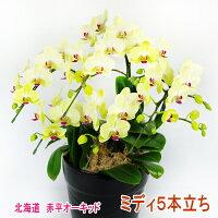 黄色のミディ胡蝶蘭5本立ち