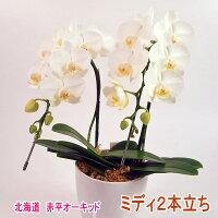 白色のミディ胡蝶蘭2本立ち