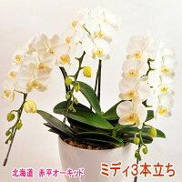 白色のミディ胡蝶蘭3本立ち