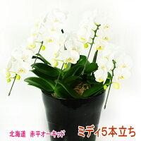 白色のミディ胡蝶蘭5本立ち