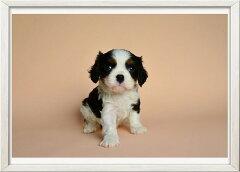 A4ポスター キャバリア【10】かわいいワンコのポスター 犬/インテリア/写真/A4サイズ/巣ごもり生活/ペット/動物/インスタグラム/インスタ映え/小物/[赤い屋根ワークス]