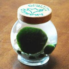 あなたの心のオアシス 天然マリモ特大サイズ1個と養殖マリモ5個入り(コルク瓶)