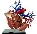 立体パズル 4D VISION 人体解剖モデル No.19 DX心臓解剖モデル【リニューアル版】[スカイネット]《取り寄せ※暫定》