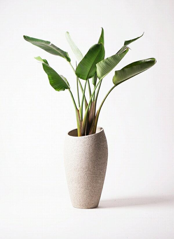 【送料込 生産者直送】観葉植物 オーガスタ 開店祝 御祝 開業祝 新築祝:花とバルーン感動ギフト!アミティ