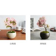 旭桜の盆栽