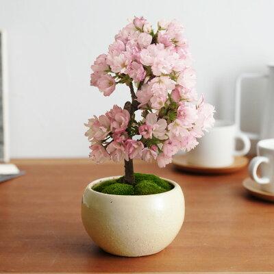 花/ガーデン/サクラ/桜/さくら/盆栽/玄関飾り /アンジェ旭山桜の盆栽【送料無料】