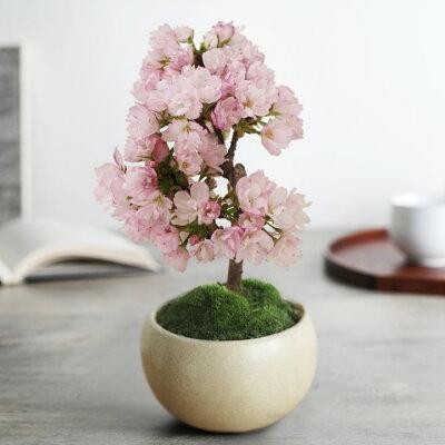 リビングで桜を愛でる