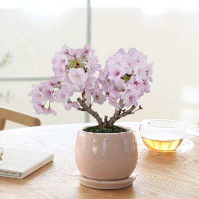 今年はおうちでお花見。リビングで楽しむ桜の盆栽