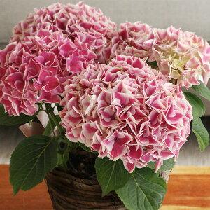 母の日/花/フラワーギフト/アレンジメント/花束/鉢植え /アンジェ2015 母の日のお花 Kiitos...