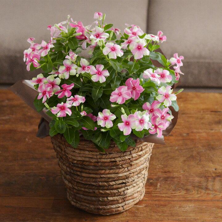2020母の日のお花Merciメルシースイーツセットギフトアレンジメント花束鉢植え【送料無料】