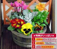 春まで楽しめる季節のお花の寄せ植え ミニガーデン パンジー ミニシクラメン お歳暮 クリスマス お歳暮 お正月
