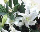 【お買い物マラソン期間中ポイント2倍】タイムセール豪華なカサブランカの花束♪ ユリの王様 白 百合 カサブランカが3本入り ギフト バレンタインデー 誕生日 お供え