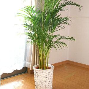 引越し祝いや開店祝いなどに。南国の雰囲気漂うヤシです。細長いラインの葉が特徴の観葉植物で...