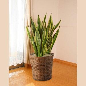 引越し祝いや開店祝いなどに。マイナスイオンを放出するのではと言われている人気の植物です。...